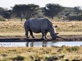 Southern White rhinoceros, Ceratotherium simum simum, female with baby going to waterhole in Botswana - 208928430