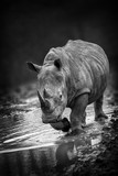 Rhinoceros portait with a slight front view angle monochrome black and white image - 208937441