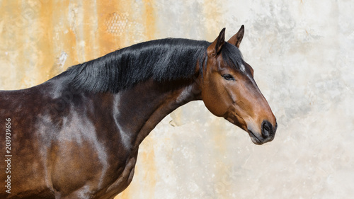 Portrait of a bay horse on light background isolated