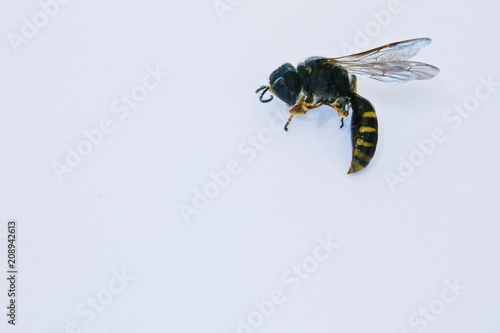 Foto Murales wasp on a white background close-up