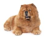 chow chow dog - 208944001