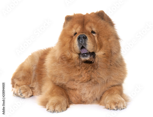 Foto Murales chow chow dog