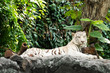 white tiger on the rock and looking something.