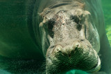 Hippopotamus (Hippopotamus amphibius) sleeping in the under water. - 208944486