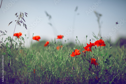 Wall mural beautiful summer meadow with poppies and chamomile, can be used as background
