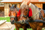 Portrait of pair of brown horses heads, in a  harness stand on the yard of farm. Horse concept.