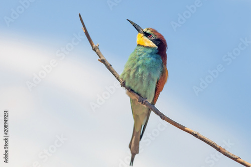 bee-eaters sitting on a branch on blue sky background