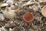 Anemone cup, Dumontinia tuberosa, wild mushroom from Finland - 208949825