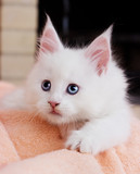 white kitten Maine Coon lies comfortably on Blankets - 208952283