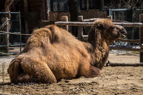 Fototapeta Kamel - Camelus ferus