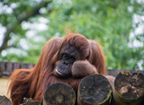 orangutan monkey laying down leaning on his arm appears bored - 208961628
