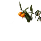 A tree of mandarin with green leaves on a white isolated background.