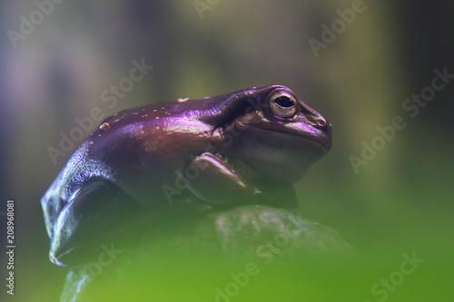 Fotobehang Kikker Frog tropical reptile amasonia jungles animal, macro photo