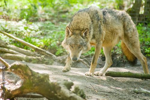 Fototapeta Samotny wilk chodzący w puszczy