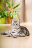 Getigerte Katze liegt in der Wohnung - 208971236