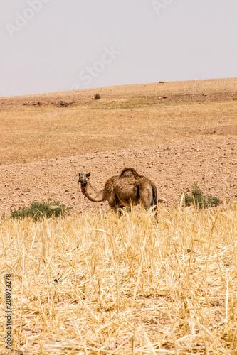 Poster camel