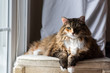 Big Large Maine coon calico cat resting on chair indoors inside house comfortable, breed neck mane or ruff by window looking outside