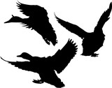 silhouettes of three flying ducks isolated on white