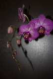 Orchid flower with purple stripes on dark background