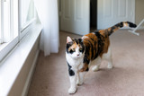 Female one calico cat face standing looking by window in carpet bedroom room walking