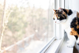 Female cute one calico cat closeup of face standing on windowsill window sill looking staring behind curtains blinds outside - 208976639