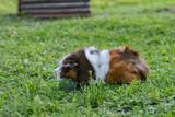 Guinea pig - 208981671