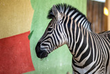 Zebra near the colored wall in zoo