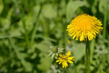 A bright yellow dandelion on a green background.