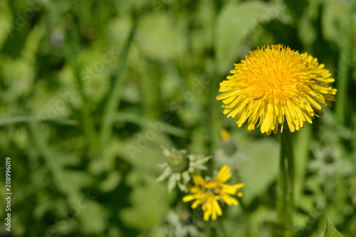 A bright yellow dandelion on a green background. A single large flower dandelion on background of grass.