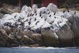 flock of cormorants by the ocean - 208998654