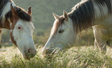 Two horses, a grey and a paint, eating long grass in a field close together