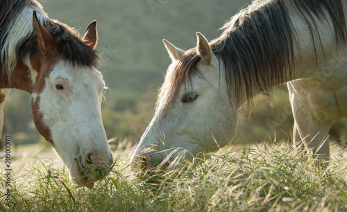 Fotobehang Paarden Two horses, a grey and a paint, eating long grass in a field close together
