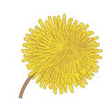 Dandelions flower vector illustration