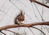 Red fluffy squirrel sitting on tree branch - 209006052