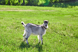 beautiful goat outdoor in nature - 209019676