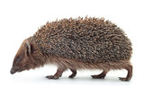 Hedgehog aniamal on white - 209020017