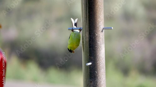 Close up of an American Goldfinch hanging upside down at a thistle feeder