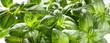 Leinwanddruck Bild - Green fresh basil