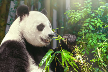 giant panda eating bamboo in the forest
