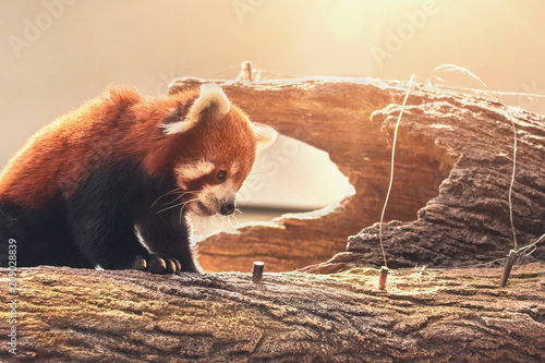Plexiglas Panda lovely red panda sitting on a trunk in a tree