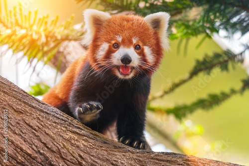 Red panda on a tree on a sunny day