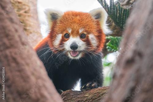 Fotobehang Panda Red panda on a tree, close-up