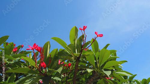 Fotobehang Plumeria plumeria flowers and trees leaf sky back ground