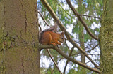 Red squirrel sits sideways on a branch against a background of green trees - 209042886