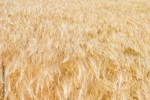 Foto Murales yellow wheat field and clear sky is in the bright sunny day, beautiful summer landscape