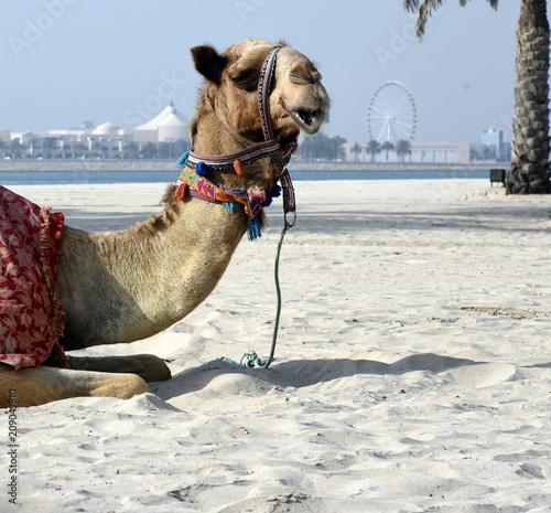 Fotobehang Abu Dhabi Kamel mit Halfter an einem Sandstrand in Abu Dhabi