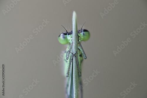 Leinwanddruck Bild Norfolk damselfly, also called dark bluet, Coenagrion armatum