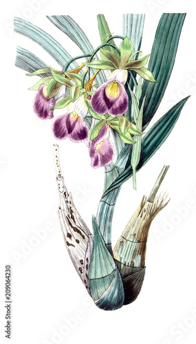 Illustration of orchid. - 209064230