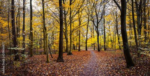 Fotobehang Herfst Pathway between yellow trees in the autumn golden forest. Panorama