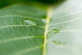 Green walnut leaf. - 209067297